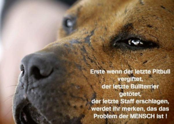 american pitbull züchter österreich